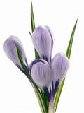 crocus lila flowers posy poster