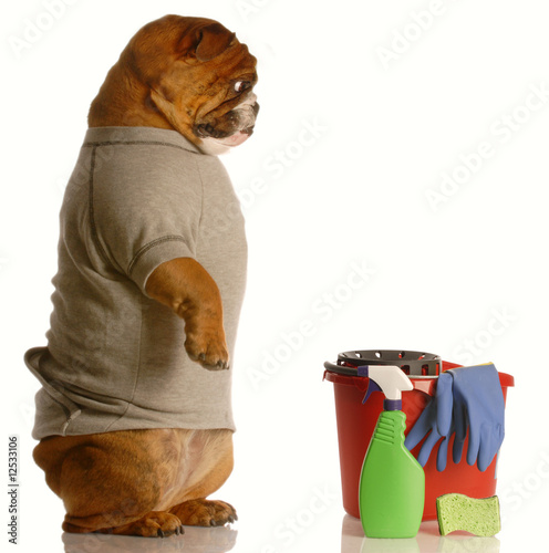 bulldog standing up beside bucket and cleaning supplies