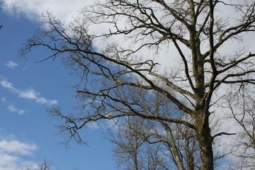 les nuages épousent les branches d'un chêne
