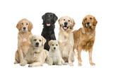 Fototapety group of 6 golden retriever and labrador facing the camera