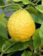 Zitronatzitrone, Citrus medica,