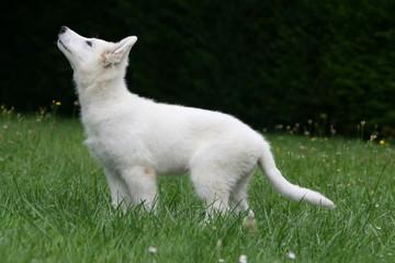 jeune berger blanc suisse vu de profil qui regarde en l'air