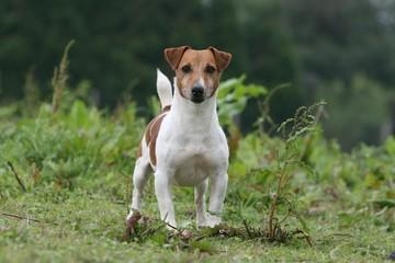 le regard curieux et surpris du jack russel terrier