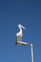Vigilant pelican