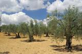 Olivenhain - olive grove 11 poster