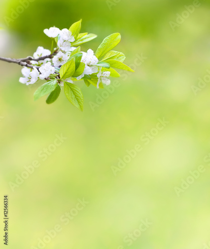 Tree branch with cherry flowers over green background - 12566334
