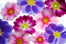 Kolorowe kwiaty pierwiosnki