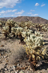 Jumping Cholla Cactus Field in Joshua Tree National Park