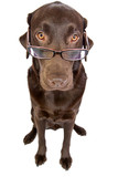 Clever Labrador with Glasses poster