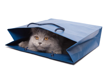 cute British kitten in blue bag isolated