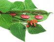 Feuerbohne mit Blüte/scarlet runner bean with flower