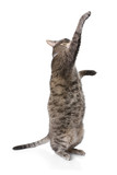 Playful obese tabby cat isolated on white background. poster