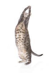 Playful obese tabby cat isolated on white background.
