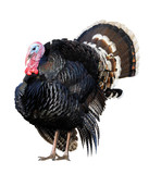 A turkey gobbler isolated on white