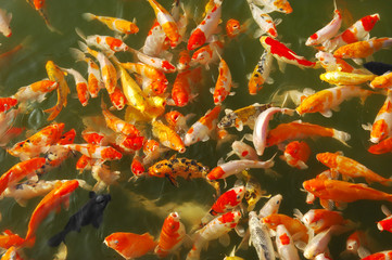 Red and gold fishes over water golden