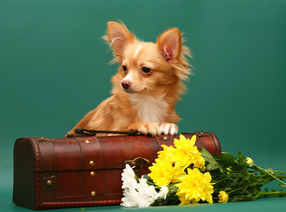 Dog of breed chihuahua is in a trunk.