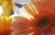 Close view of an African daisy with light shining through its petals