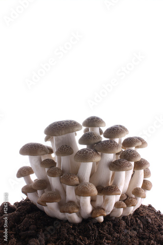 Mushroom clump on soil