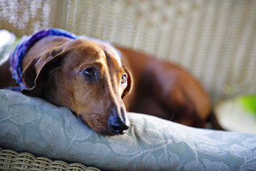 Brown dog resting on grey floral cushion