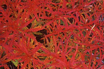 Cluster of red colored slender leaves overlapping each other