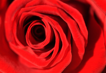 Extreme close up of a beautiful red rose