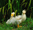cute ducks