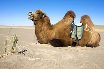 Camel waiting