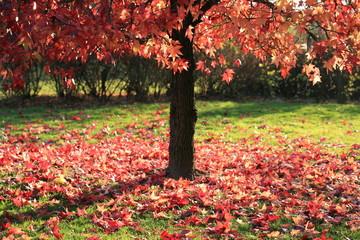 Erable entouré de feuilles mortes