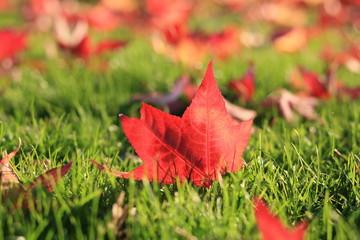 Feuille d'erable à l'automne