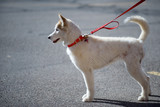 White alaskan husky on red leash on the street poster