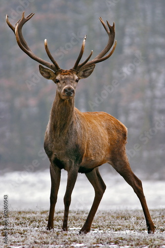 Poster Hert Red deer on a meadow