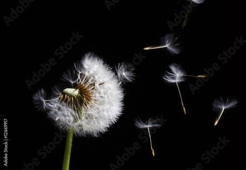 dandelion in the wind © HP_Photo