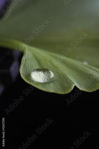 Ginkgoblatt mit Wassertropfen © GaToR-GFX