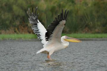 Great White Pelican (Pelecanus onocrotalus) in Naivasha lake.