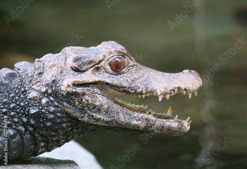 Foto op Plexiglas Krokodil Krokidil