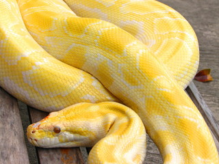 Albino Python at Manila Zoo