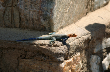 African Lizard (agama) in national park