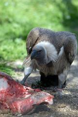 avvoltoio che mangia