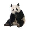 Giant Panda (18 months) - Ailuropoda melanoleuca - 12711999