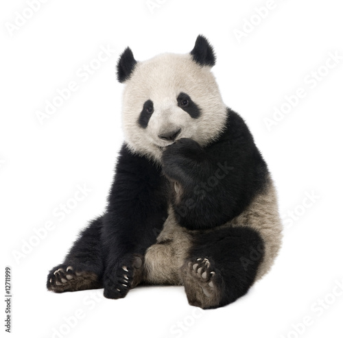 Aluminium Dragen Giant Panda (18 months) - Ailuropoda melanoleuca