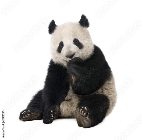 Giant Panda (18 months) - Ailuropoda melanoleuca Poster