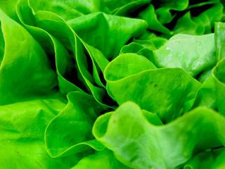 Alface - Organic Lettuce - Salade