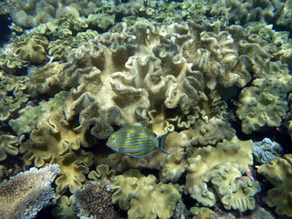Striped surgeonfish and huge corals at the Great Barrier Reef