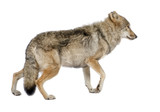 old European wolf - Canis lupus lupus poster