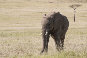 elephants   in savannah