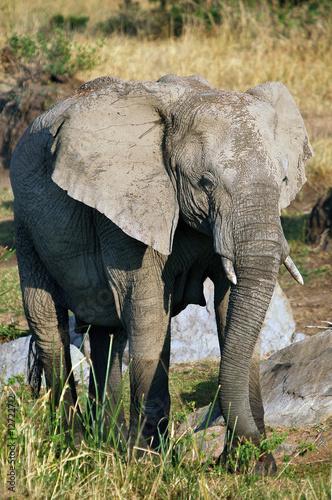 Fototapeta The African Bush Elephant (Loxodonta africana) at Masai Mara