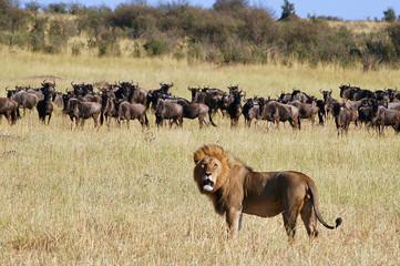 Lion hunt wildebeests at Masai Mara, Kenya