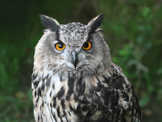 straight looking owl