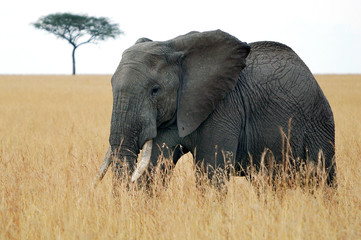 The African Bush Elephant (Loxodonta africana) at Masai Mara