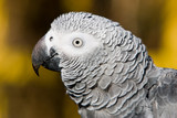 african grey outdoors